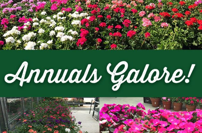 A Beautiful Selection of Annuals for Your Yard
