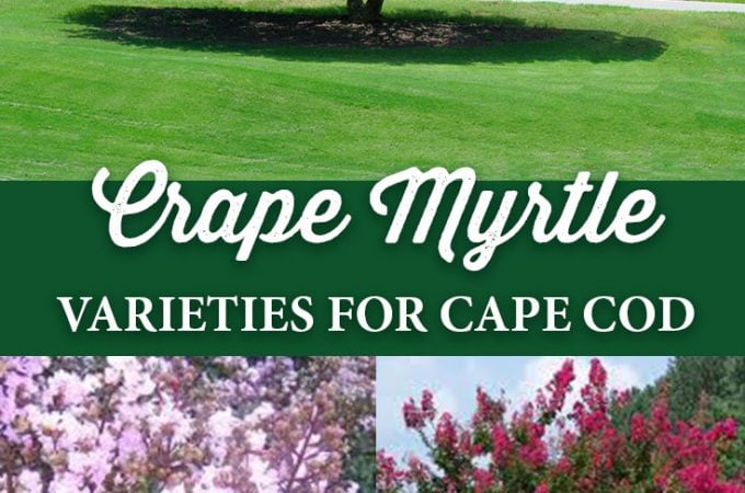 Crape Myrtle Varieties for Cape Cod