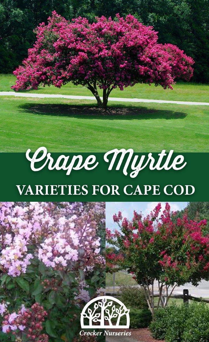 Crape Myrtle Varieties for Cape Cod