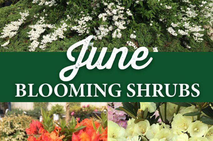 Blooming Shrubs for June