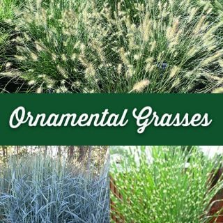 Ornamental Grasses - Crocker Nurseries