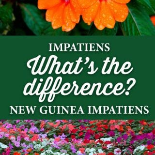 The difference between Impatiens and New Guinea Impatiens