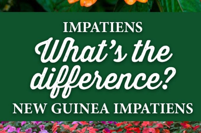 What is the difference between regular Impatiens and New Guinea Impatiens?