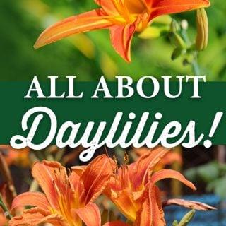 All about Daylilies - Crocker Nurseries