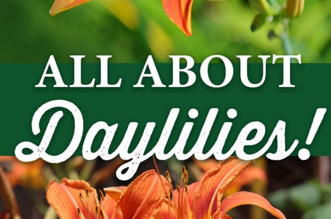 All About Daylilies!