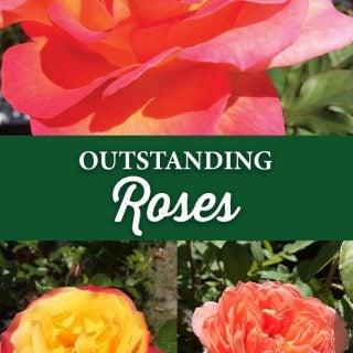 Outstanding Roses - Crocker Nurseries