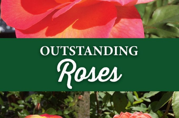 Outstanding Roses!