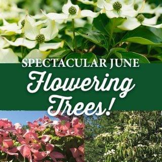 Spectacular June Flowering Trees