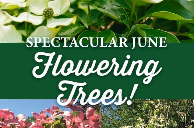 Spectacular June Flowering Trees!