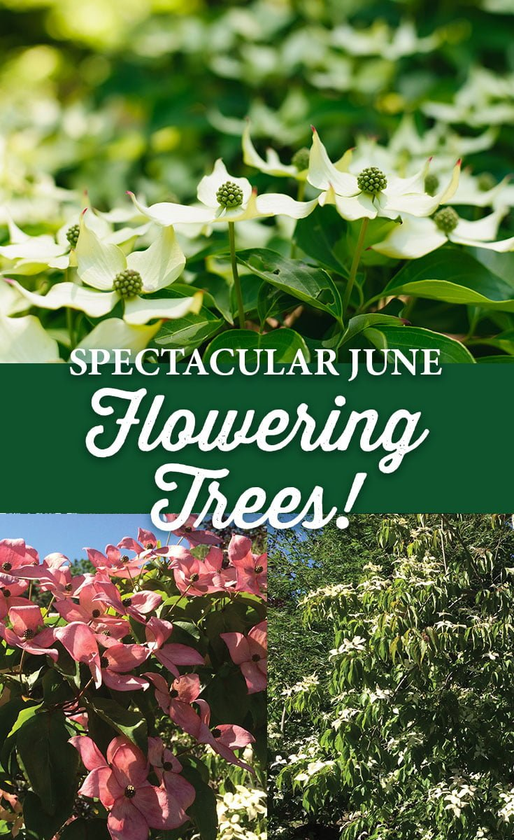 Spectacular June Flowering Trees