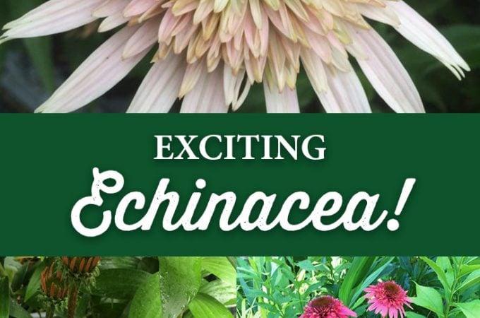 Exciting Echinacea!