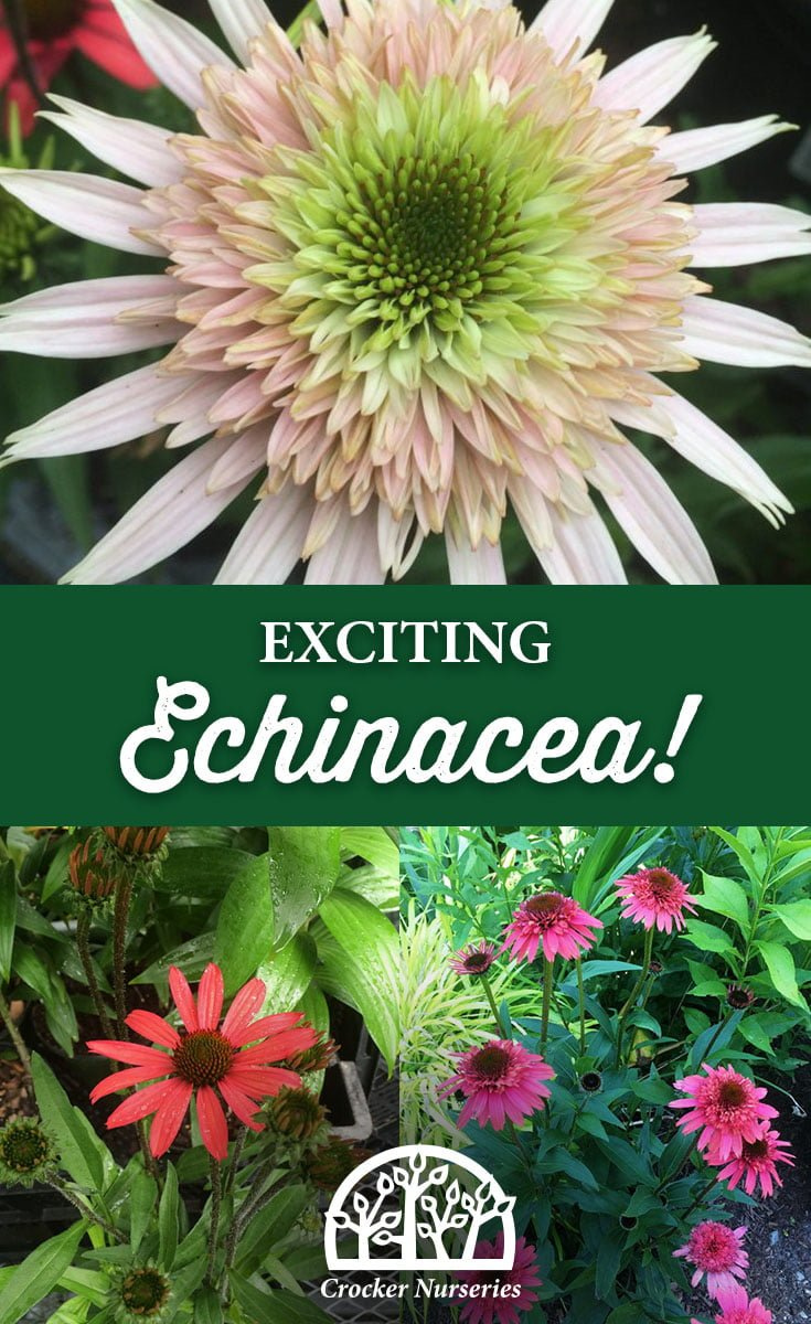 exciting echinacea