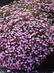 waltersgardens-lo3035-saponaria-ocymoides