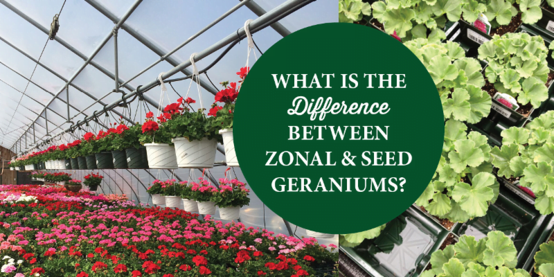 What's the difference between zonal and seed geraniums