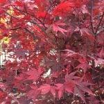 1-acer-palmatum-fireglow