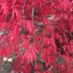 3-acer-palmatum-diss-red-dragon