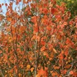 7-acer-rubrum-red-sunset
