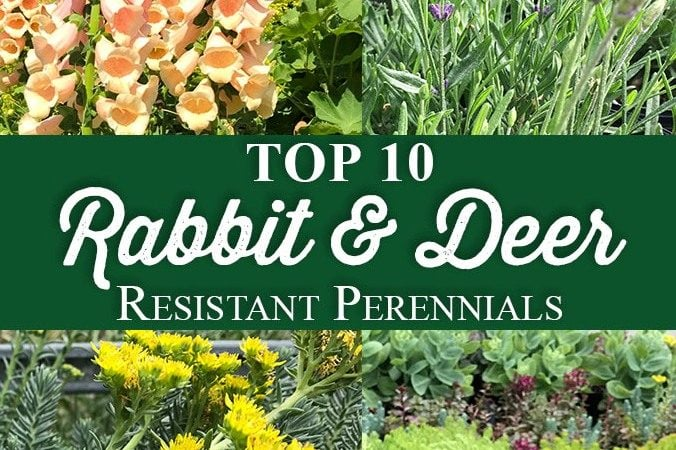 Top 10 Rabbit & Deer Resistant Perennials