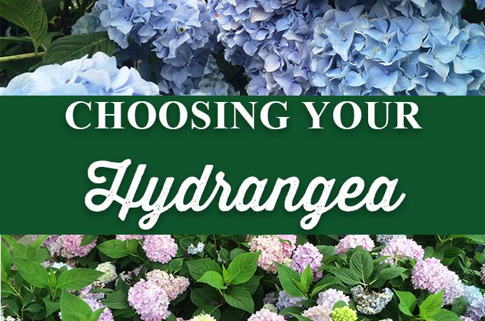 Choosing the Right Hydrangea