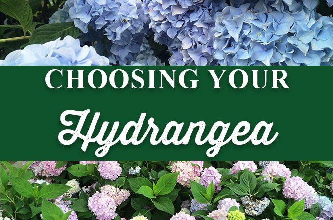 Choosing the Right Hydrangea