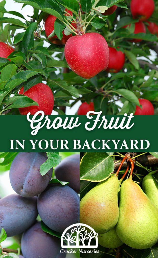 Grow Fruit in Your Backyard - Crocker Nurseries