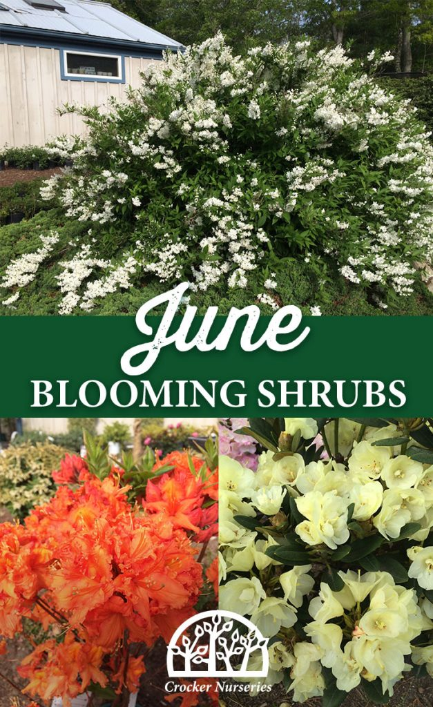 June Blooming Shrubs - Crocker Nurseries