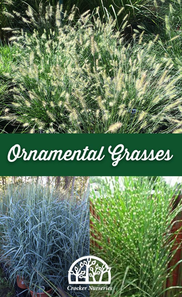 Interesting Varieties Of Ornamental Grasses Crocker Nurseries