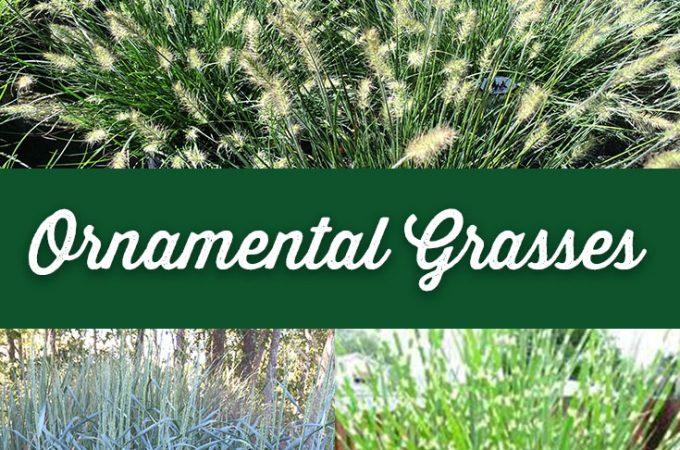 Interesting Varieties of Ornamental Grasses