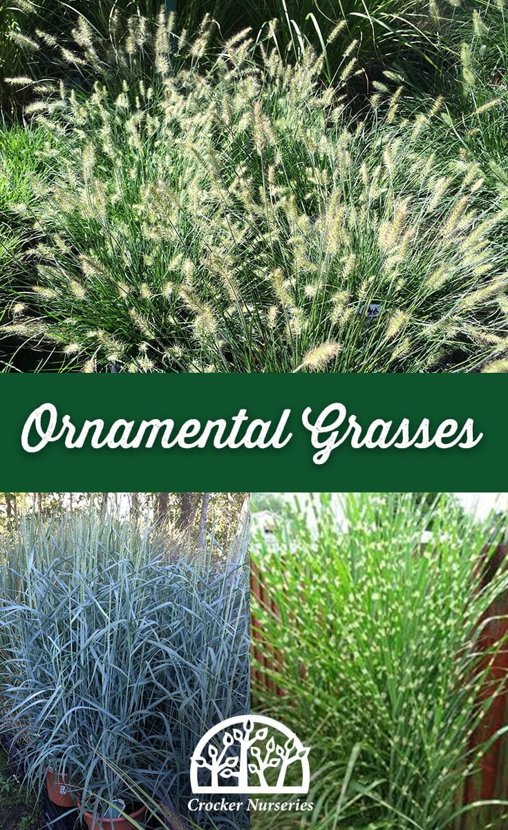 Interesting varieties of ornamental grasses for Variegated ornamental grass varieties