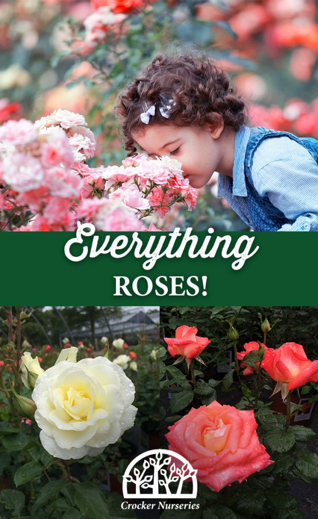 Roses - Crocker Nurseries