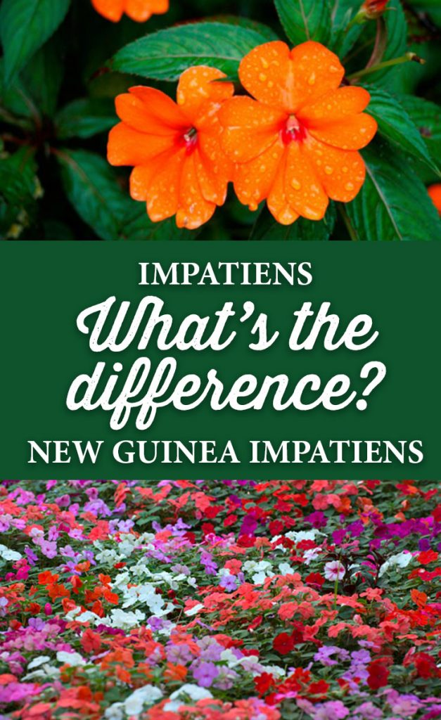What Is The Difference Between Regular Impatiens And New Guinea