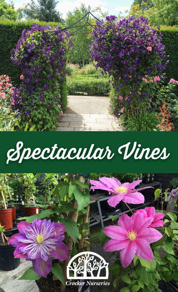Vines for Cape Cod - Crocker Nurseries