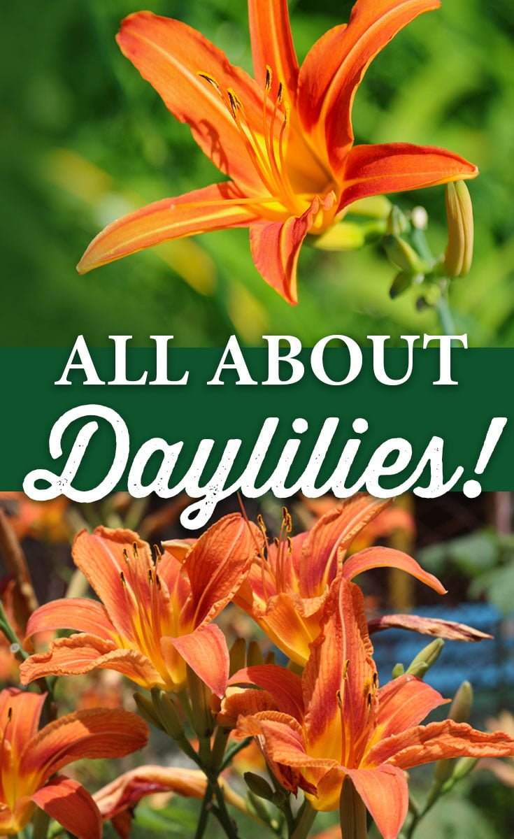 All about Daylilies - Crocker Nurseries