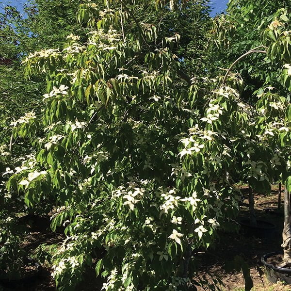 Spectacular june flowering trees cornus kousa satomi this disease resistant selection of pink flowering dogwood is a great replacement for more problem prone cultivars mightylinksfo