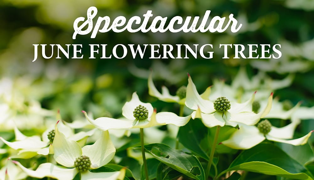 Kousa Dogwood Tree Blossoms