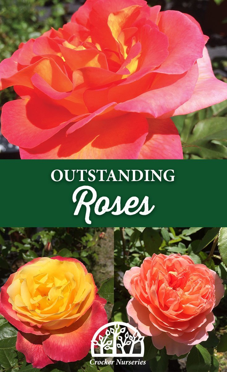 Outstanding Roses - Crocker Nurseries