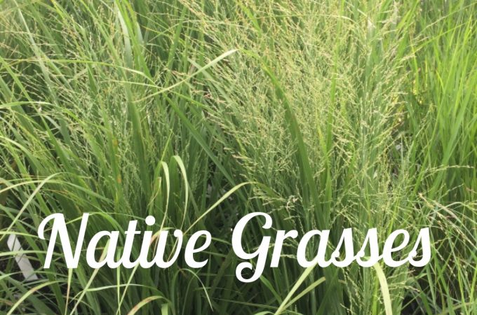 Standout Native Grasses