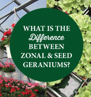 Zonal versus Seed Geraniums