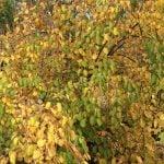 11-cercid-jap-magnificum-pendula-big-leaf-weeping-katsura