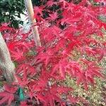 2-acer-palmatum-bloodgood