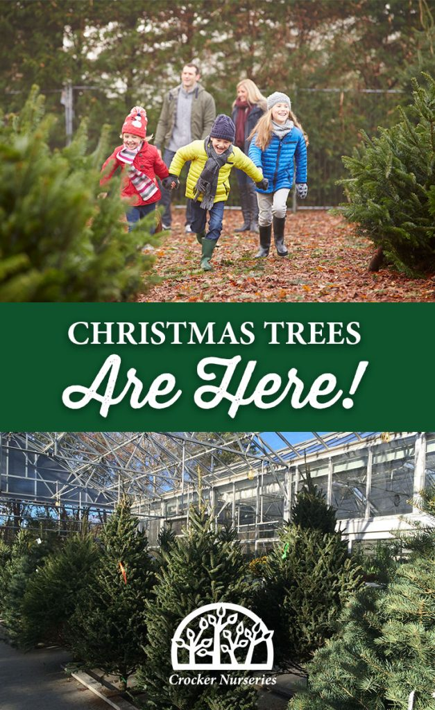 crocker-nurseries-holidays-2016-christmas-trees