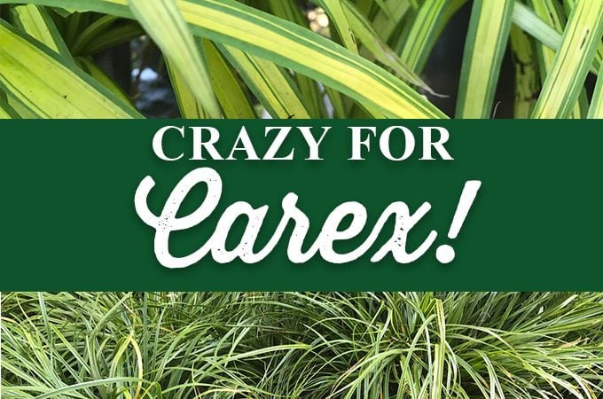Crazy for Carex!