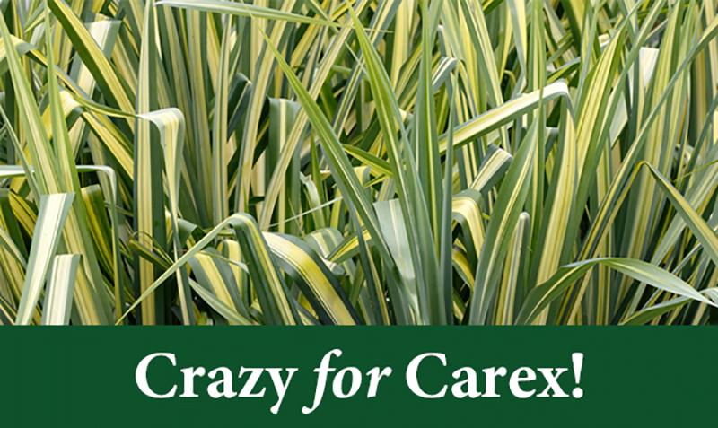Crazy for Carex!