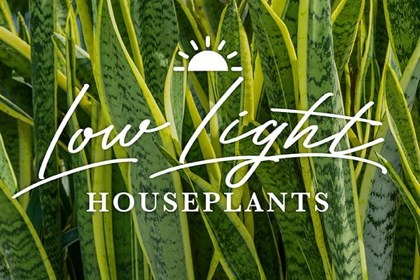 Exciting Houseplants for Low Light