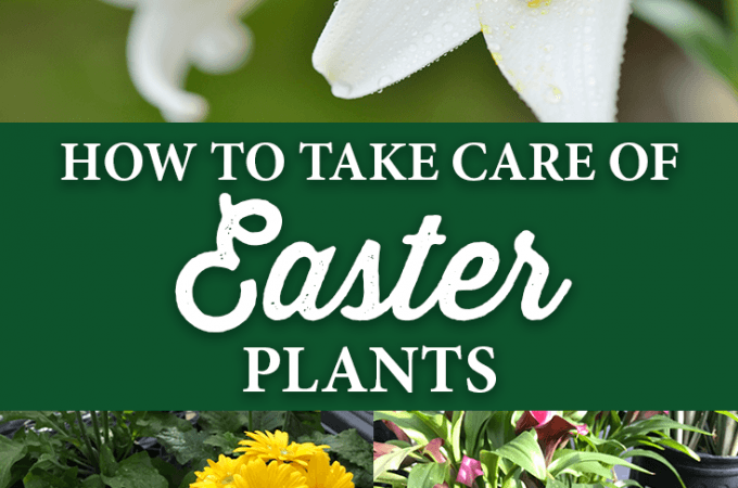 How to Take Care of Easter Plants