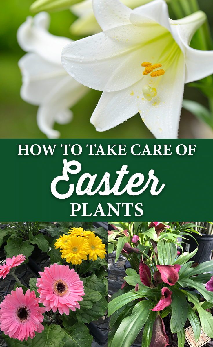 How to take care of easter plants dont forget tomorrow is the last day to get 20 off nursery stock izmirmasajfo