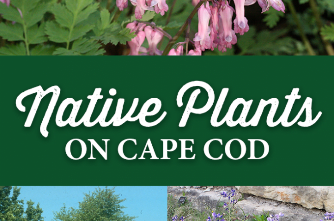 Native Plants of Cape Cod