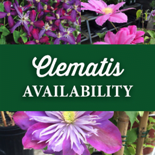 Clematis Availability