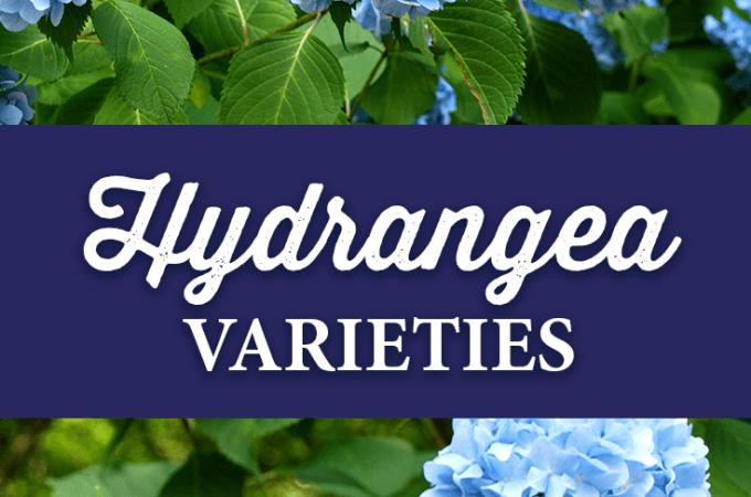 Hydrangea Varieties List