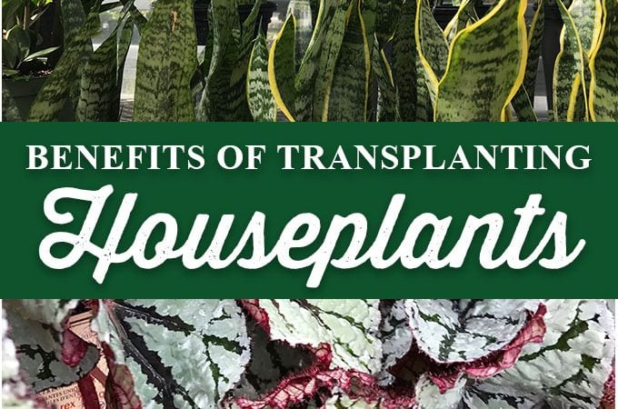 5 Benefits of Transplanting Your Houseplants